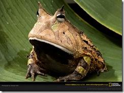 amazon-horned-frog