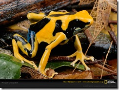 dyeing-poison-dart-frog